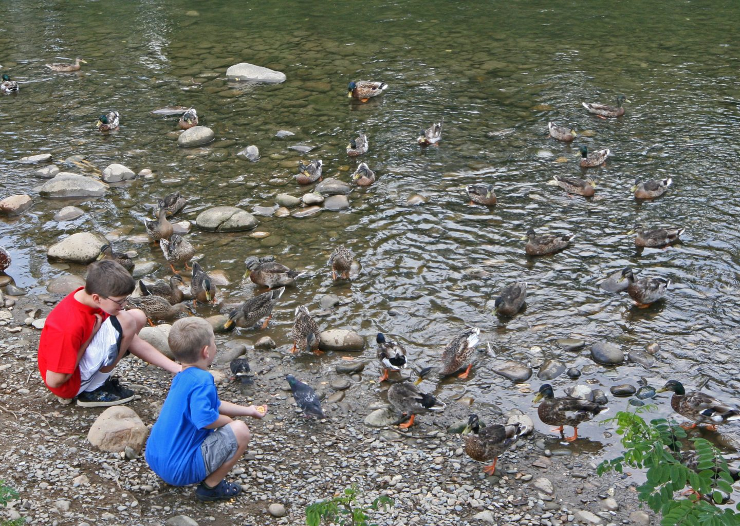 feeding ducks by the river near Econo Lodge Pigeon Forge