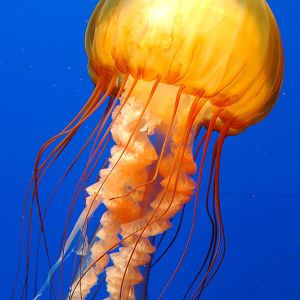 A Jellyfish In Water