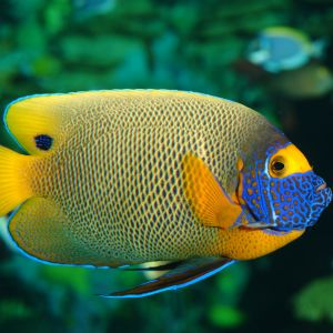 A Blue And Yellow Fish